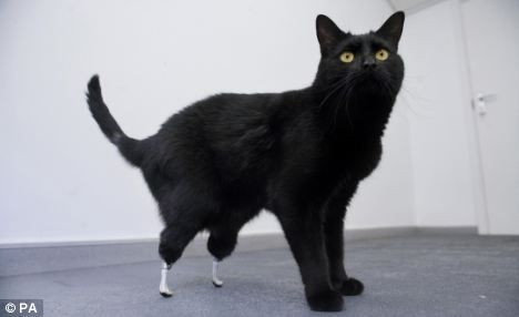 Oscar, the cat with a pair of prosthetic paw